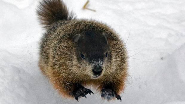 web-groundhog-sam.JPG?1454511209459